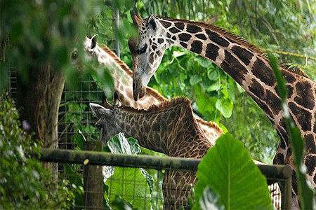 新加坡日间动物园门票(附赠英文导览车服务)成人