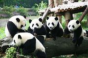成都4天3晚半自助游耍熊猫基地,逛宽窄巷子、泡茶馆,听川剧、看变脸、品美食