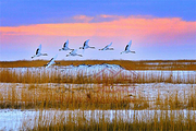 <齐齐哈尔1日游>扎龙自然保护区、北大荒鲜花港、鹤之汤养生温泉