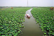 雄安新区白洋淀白洋淀荷花大观园+芦苇荡泛舟捡野鸭蛋+湿地栈道二日游