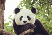 超值特惠✔保证纯玩✔熊猫基地+都江堰一日游✔无线耳麦✔特色团餐✔三环内接