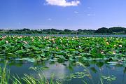 100%纯玩☞白洋淀荷花大观园+捡野鸭蛋+欢乐岛纯玩二日游! 赠送小木船!