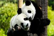 <高端纯玩0购物>🔥赠看呆萌大熊猫|都江堰+青城山1日|三环免费接 赠美食