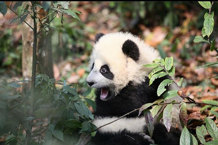 都江堰熊猫乐园旅游