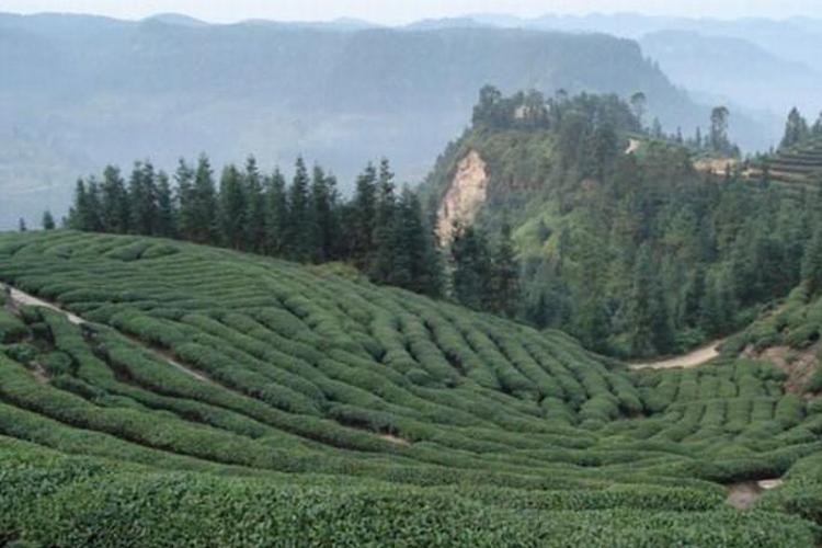 黄蜂窝茶山旅游