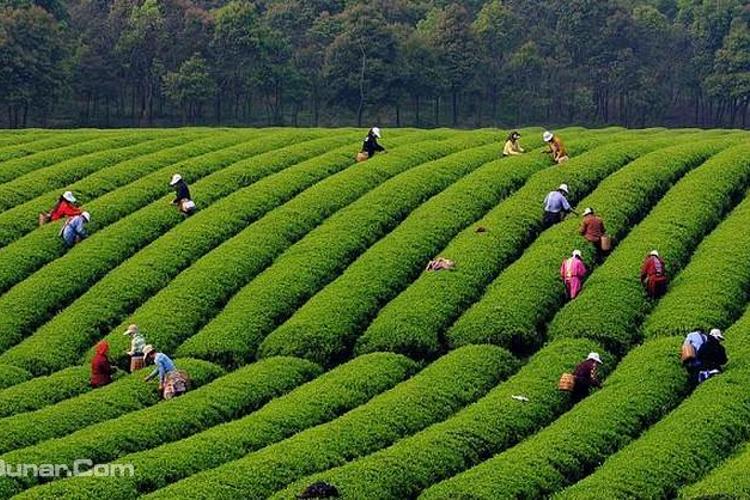宜兴茶园风景图