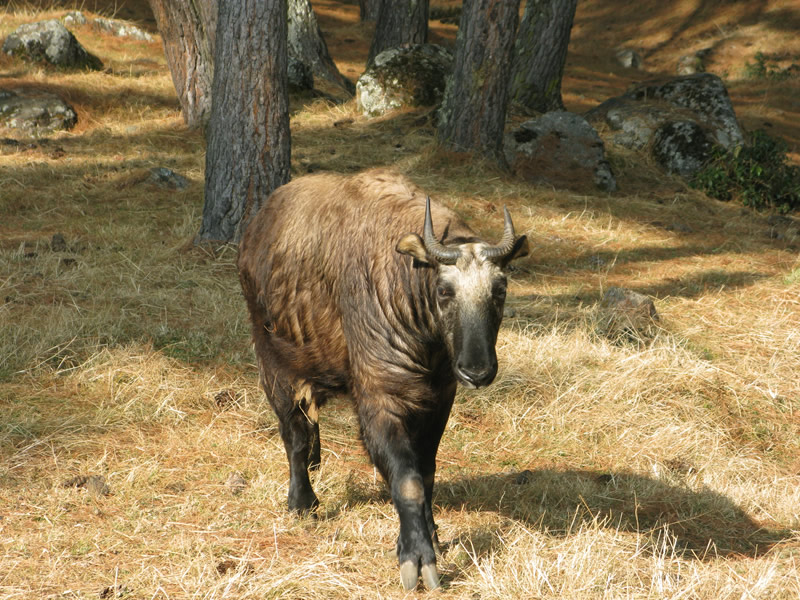 不丹-廷布-塔金动物园 (约1小时)--不丹-旺杜波德朗-旺杜波德朗城堡