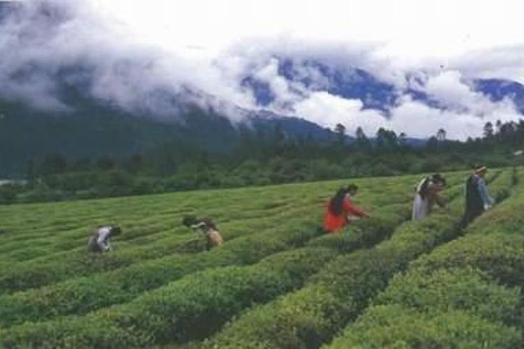 茶园生态旅游区旅游