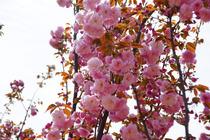 从化天适樱花、四季果园摘果、溪头村巴士纯玩一天(赏花踏春摄影之旅,送意外险)