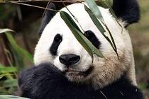 成都-熊猫基地1日游,含往返车位+旅游意外险(+hs)