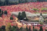 追寻醉美春天-连平百里桃花节、虔心小镇、万亩茶园、燕翼围、老八盘美食纯玩2天