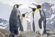 <海钻石邮轮>包船南极四岛+巴西+秘鲁+玻利维亚38天 王企鹅 赠巴西狂欢节