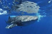 菲律宾宿务达拉盖地潜水AOW考证-看鲸鲨,沙丁鱼风暴