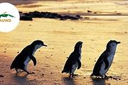 墨尔本 12座 企鹅岛 一日游