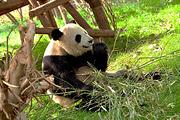 成都熊猫基地往返1天  只含旅游意外险都1
