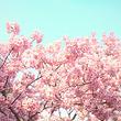 旅顺赏樱花+黄渤海分界线+帆船出海观景喂海鸥一日游