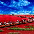 辽宁盘锦红海滩国家风景廊道一日游*世界红色海岸线/盘锦出发