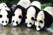 熊猫基地景区直通车一日游及成都机场接送机产品多线路多套餐玩法推荐