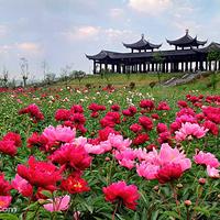 扬州芍药园