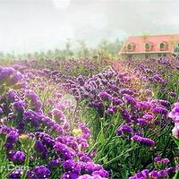 艾伊薰衣草生态庄园