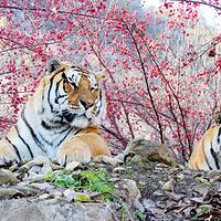 栾川竹海野生动物园(原伏牛山东北虎园)