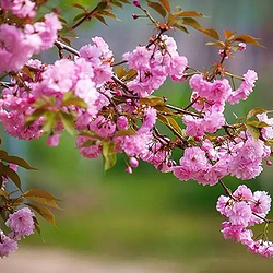 唐韵樱花园