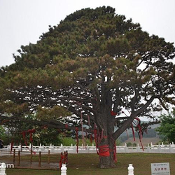 红带沟大清神树