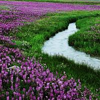 新疆熏衣草基地