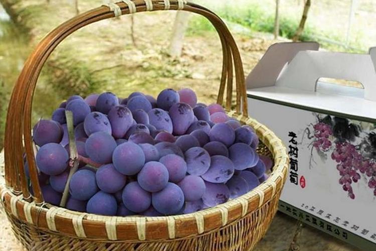 老树葡萄庄园旅游