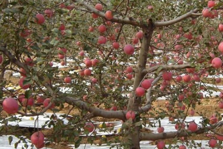 里炮红苹果度假村旅游