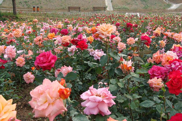密云玫瑰情园旅游