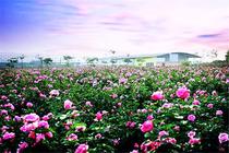 暑期赏花时节好去处!望谷温泉度假村+双人无限温泉+樱花悠乐园+宝趣玫瑰世界