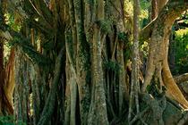 垦丁日间生态体验--一树成林白榕树景观、蝴蝶峡谷与赏蝶步道、高耸的珊瑚峡谷等